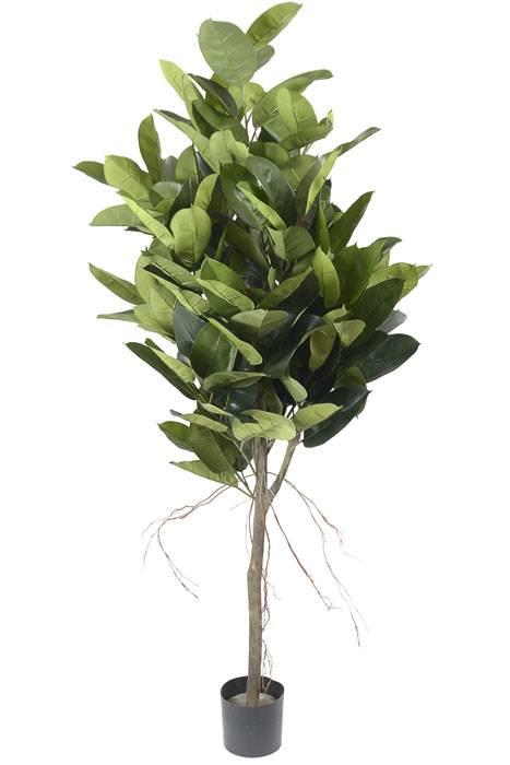 6ft Magnolia Leaf Rubber Tree In Pot Green Gandgwebstore Com