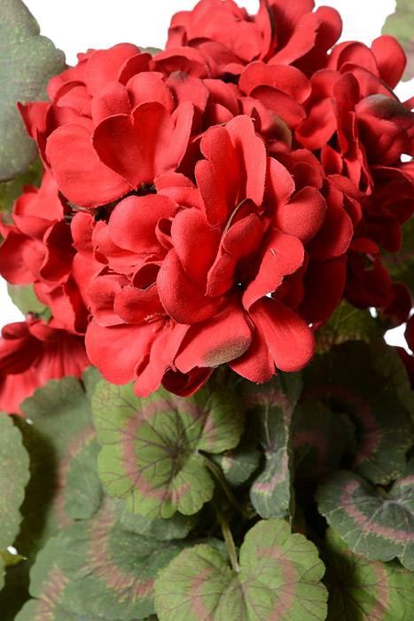 30 Quot Geranium Vine Hanging Bush Flowers Red