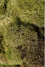 NATURAL REINDEER MOSS LIGHT GREEN
