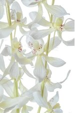 "39"" DENDROBIUM SPRAY CREAM"