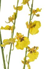 48'' ORCHID STEM YELLOW